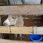 """Little """"Peanut"""" has found a good home on St. Croix where she'll protect herds of sheep from dogs. Her leg had been broken while in the wild, but hrough the efforts of my vet and I she is now """"Good to go!""""."""