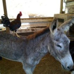 Stormy being a patient roost for a young rooster.