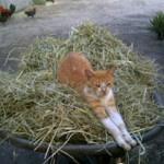 My kitty Pearl stetched out on the hay. They know how to find the most comfortable spots.