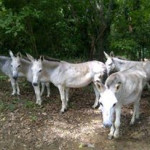 Some of the wild donkeys on the island. Most of this group had been gelded and set back loose.