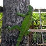 Iguana aplenty, especially in the Cruz Bay/ Westin area. Some out here who call Coral Bay home brighten up the place.