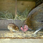 A young hen with her new born.