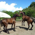 """My horse Ezekiel or """"EZ"""" in the foreground playing with a young thorobred. EZ is a smooth ride and in charge of all the horses in the yard."""
