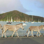 More wild donkeys on parade in front of Coral Harbor and historic Fortsburg in the background.