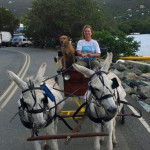 Sugar and Rodney hard at work pulling the wagon with Red Dog aboard. The wild donkeys are smart and easily trained once they trust you.